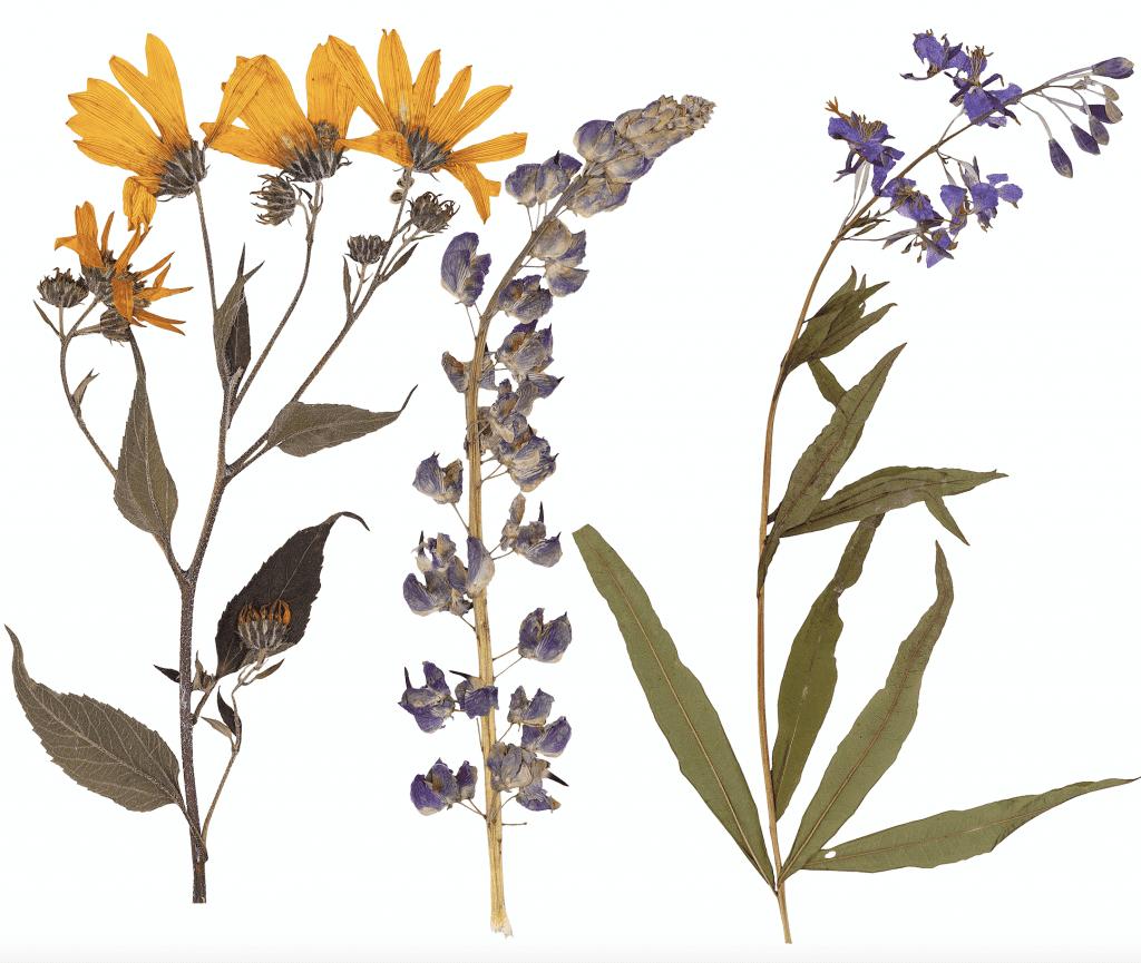 Image of Beautiful Pressed Flowers