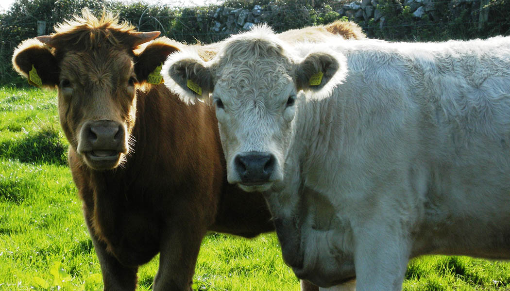 2 cows singapore
